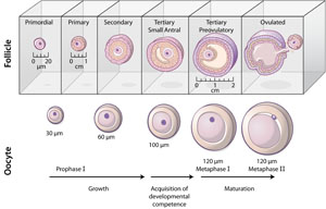 In vitro oocyte maturation
